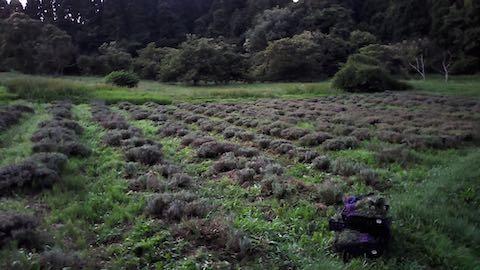20200709草取り途中のラベンダー畑の様子4