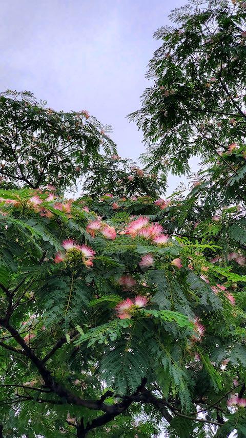 20200713速歩途中で望んだ公園内のネムの花