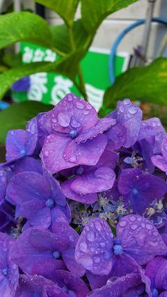 20200713お店横の鉢植えのあじさいの花