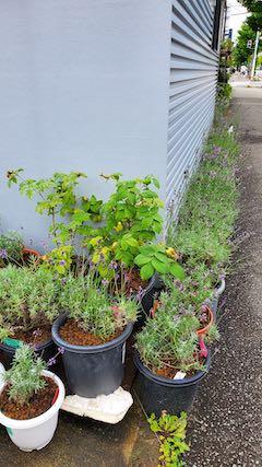 20200713お店前の鉢植えラベンダー刈り込み前の様子1