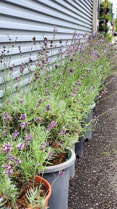 20200713お店前の鉢植えラベンダー刈り込み前の様子2