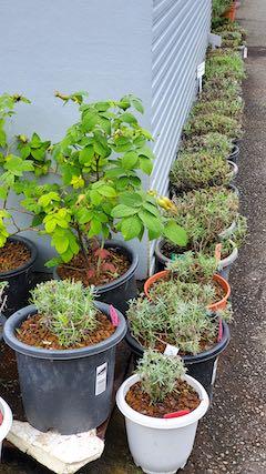 20200713お店前の鉢植えラベンダー刈り込み後の様子1