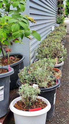 20200713お店前の鉢植えラベンダー刈り込み後の様子2