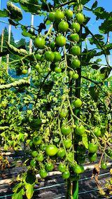20200713野菜畑ミニトマトが鈴なりに