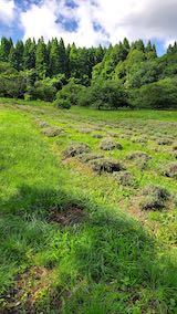 20200713草刈り前のラベンダー畑の様子1