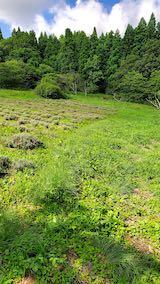 20200713草刈り前のラベンダー畑の様子4
