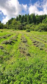 20200713草刈り前のラベンダー畑の様子2