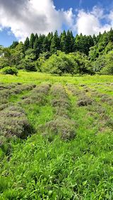 20200713草刈り前のラベンダー畑の様子5