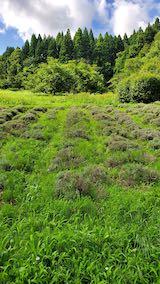 20200713草刈り前のラベンダー畑の様子6
