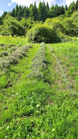 20200713草刈り前のラベンダー畑の様子7