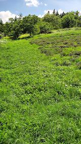 20200713草刈り前のラベンダー畑の様子8
