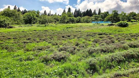 20200713草刈り途中のラベンダー畑の様子3