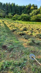20200713草刈り後のラベンダー畑の様子1