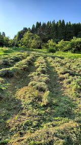20200713草刈り後のラベンダー畑の様子2