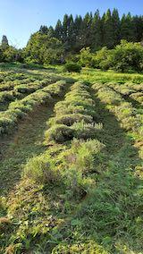 20200713草刈り後のラベンダー畑の様子3