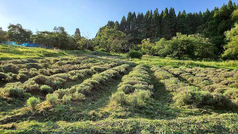 20200713草刈り途中のラベンダー畑の様子2