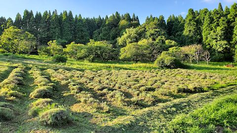20200713草刈り途中のラベンダー畑の様子1