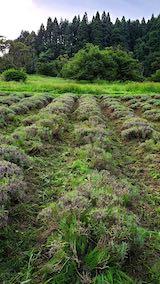 20200713草刈り後のラベンダー畑の様子5