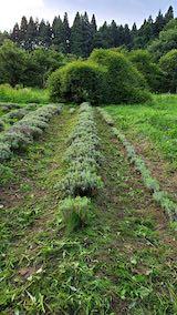 20200713草刈り後のラベンダー畑の様子7