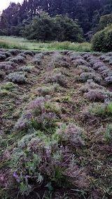 20200713草刈り後のラベンダー畑の様子6