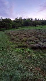 20200713草刈り後のラベンダー畑の様子8