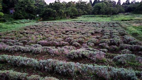 20200713草刈り後のラベンダー畑の様子10