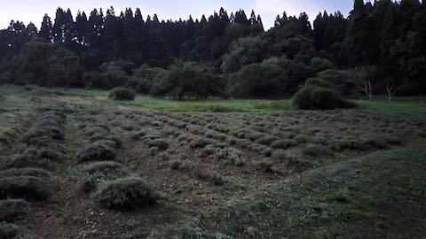 20200713草刈り後のラベンダー畑の様子9