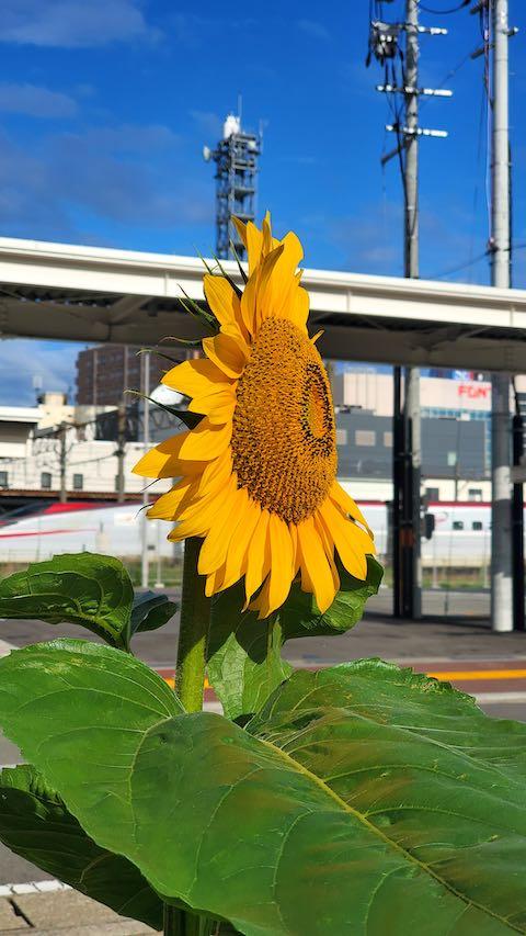 20200715速歩途中で望んだ朝日に映えるひまわりの花1