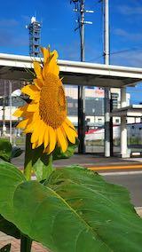 20200715速歩途中で望んだ朝日に映えるひまわりの花2