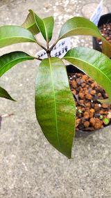 20200715芽が出て大きくなったマンゴーの苗木