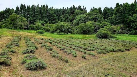 20200715ラベンダー畑の様子