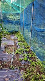 20200715野菜畑ネット張り前1