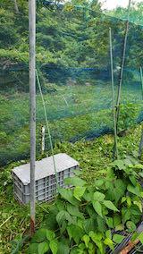20200715野菜畑ネット張り前2