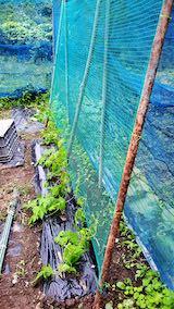 20200715野菜畑ネット張り後1