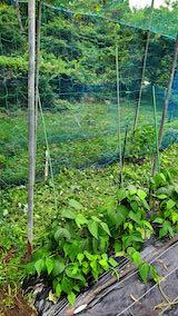 20200715野菜畑ネット張り後2
