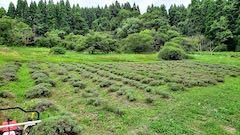 20200723耕耘機で耕す前のラベンダー畑の様子3
