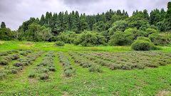 20200723耕耘機で耕す前のラベンダー畑の様子4