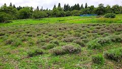 20200723耕耘機で耕す前のラベンダー畑の様子5