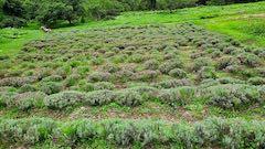 20200723耕耘機で耕す前のラベンダー畑の様子6