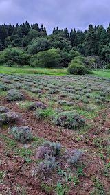 20200723耕耘機で耕した後のラベンダー畑の様子1