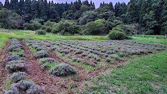 20200723耕耘機で耕した後のラベンダー畑の様子2