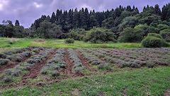 20200723耕耘機で耕した後のラベンダー畑の様子3