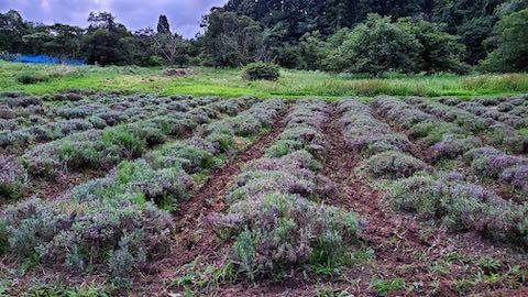 20200723耕耘機で耕した後のラベンダー畑の様子6