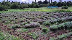 20200723耕耘機で耕した後のラベンダー畑の様子4