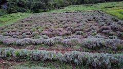 20200723耕耘機で耕した後のラベンダー畑の様子5