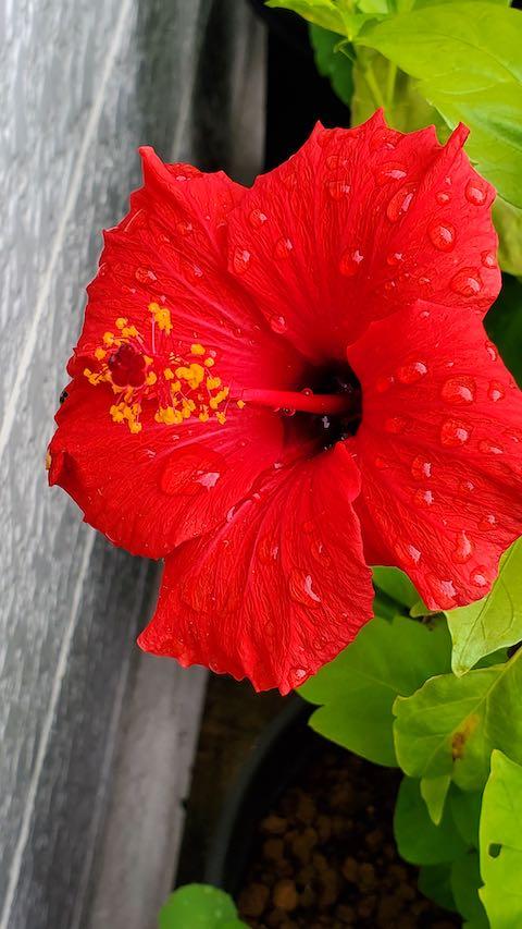 20201017外の様子ハイビスカスの花