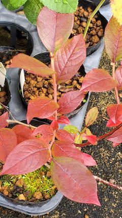 20201017外の様子ブルーベリーの葉紅葉