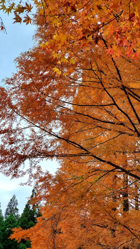 20201111旭川ダム公園の紅葉探索5