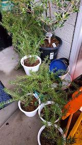 20210114お店前の鉢植えローズマリー