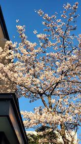 20210405外の様子夕方桜1